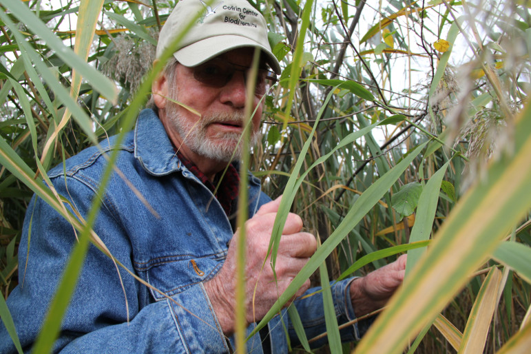 Bud Harris, professor emeritus of natural and applied sciences at the University of Wisconsin-Green Bay, is surrounded by an invasive species at a Green Bay wetland. Kate Golden/Wisconsin Center for Investigative Journalism