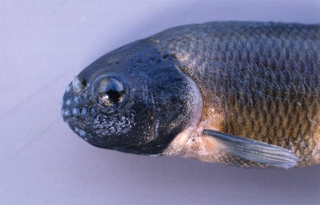 Male-fathead-minnow-head-1024x656.jpg