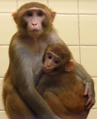 Monkeys who are in the control group of psychiatrist Dr. Ned Kalin's study on the effects of early adversity on the brain at the University of Wisconsin-Madison will remain with their mothers, except when they are removed for testing, until they are six months old.