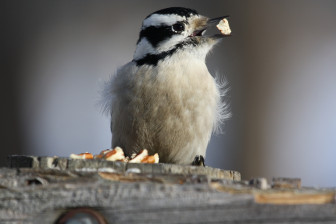 A downy woodpecker at Goose Island County Park near La Crosse in January 2014. Bureau of Science Services researchers monitor wildlife populations, including birds.