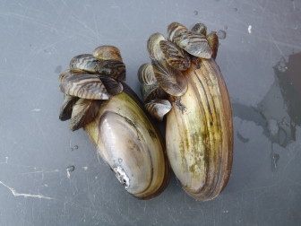 Some species get little attention even though they may be important indicators of the health of Wisconsin's environment. The Bureau of Science Services studies invasive mussels, such as the zebra mussels that are shown here slowly smothering a larger native species.