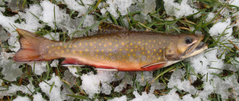 Brook trout, Wisconsin.