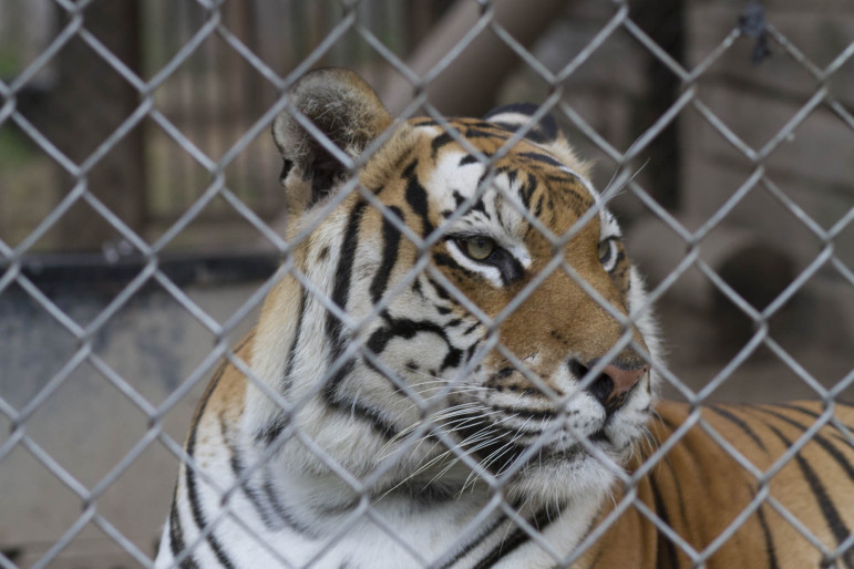 A tiger looks through the wires of its enclosure at Valley of the Kings, a sanctuary in Sharon. Large, dangerous exotics such as big cats would be included in the exotic animal ban currently being pushed by Sen. Van Wanggaard, R-Racine.