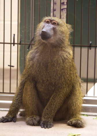 This baboon in a reinforced dog kennel at the Dane County Humane Society was surrendered by a Madison man in 2011. Some advocates say Wisconsin's lax exotic pet laws encourage ownership of animals unsuitable for domestic life.