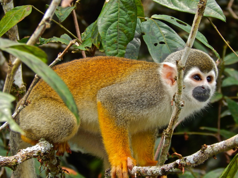 Squirrel monkeys, such as this one seen in the Ecuadorian Amazon, are among the many exotic species allowed to be kept as pets by residents in Wisconsin. The state has few restrictions on owning wild animals that are not native to Wisconsin.
