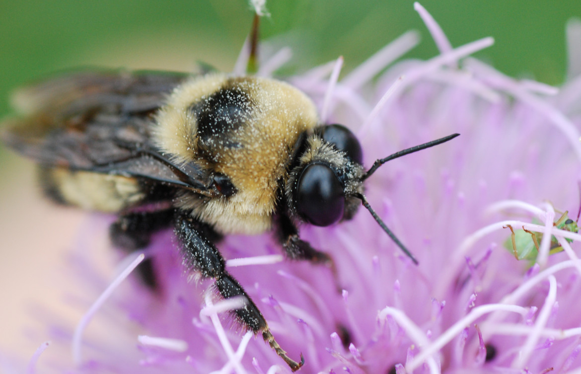 critics state u0027s plan to save bees provides little protection from