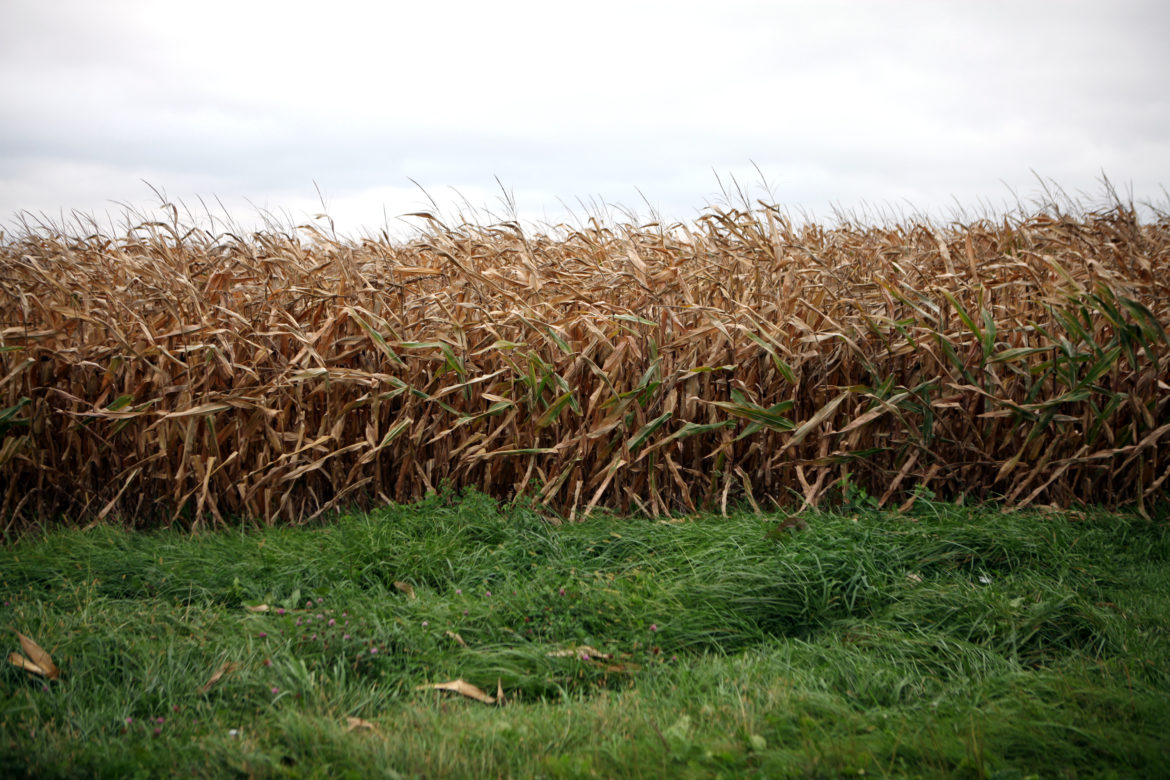 A cornfield is seen in Dane County, where atrazine is prohibited. Since 1991, the state has created atrazine prohibition zones in areas where drinking water has been contaminated with the agricultural chemical.